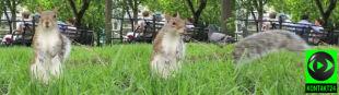 Czy rude wiewiórki zginą? To winowajca