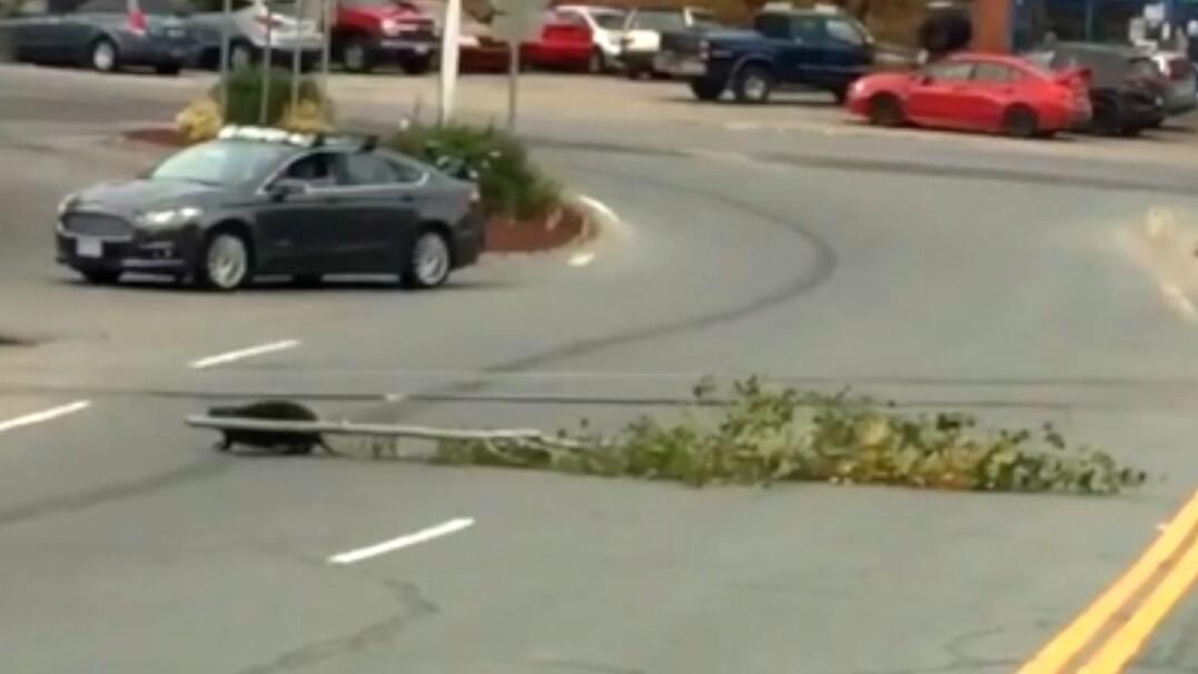 Bóbr zatrzymuje ruch na dwupasmowej drodze, by przeciągnąć ogromną gałąź