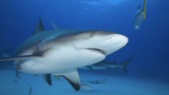 """Tajne życie społeczne rekinów. """"Są niesamowitymi zwierzętami"""""""