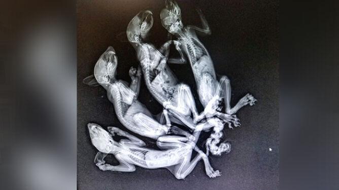 Cztery wiewiórki ze splątanymi ogonami, jednej go amputowano. Zwierzęta mogły paść ofiarą człowieka