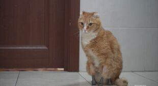 Weterynarz z Nowosybirska wszczepia kotom i psom protezy łap
